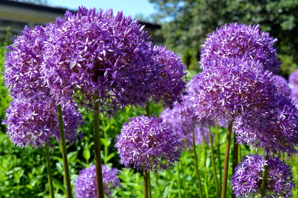 Globe Alliums