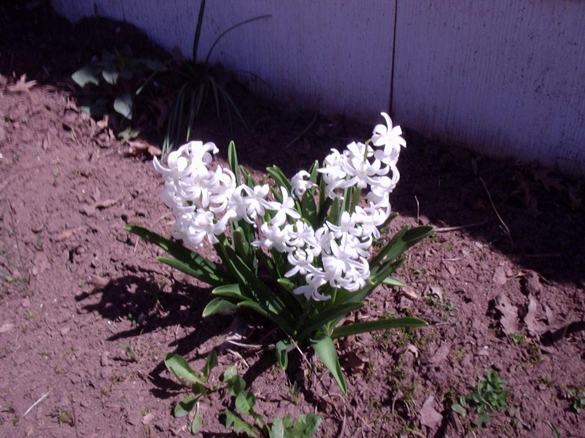 Multiflora Hyacinth