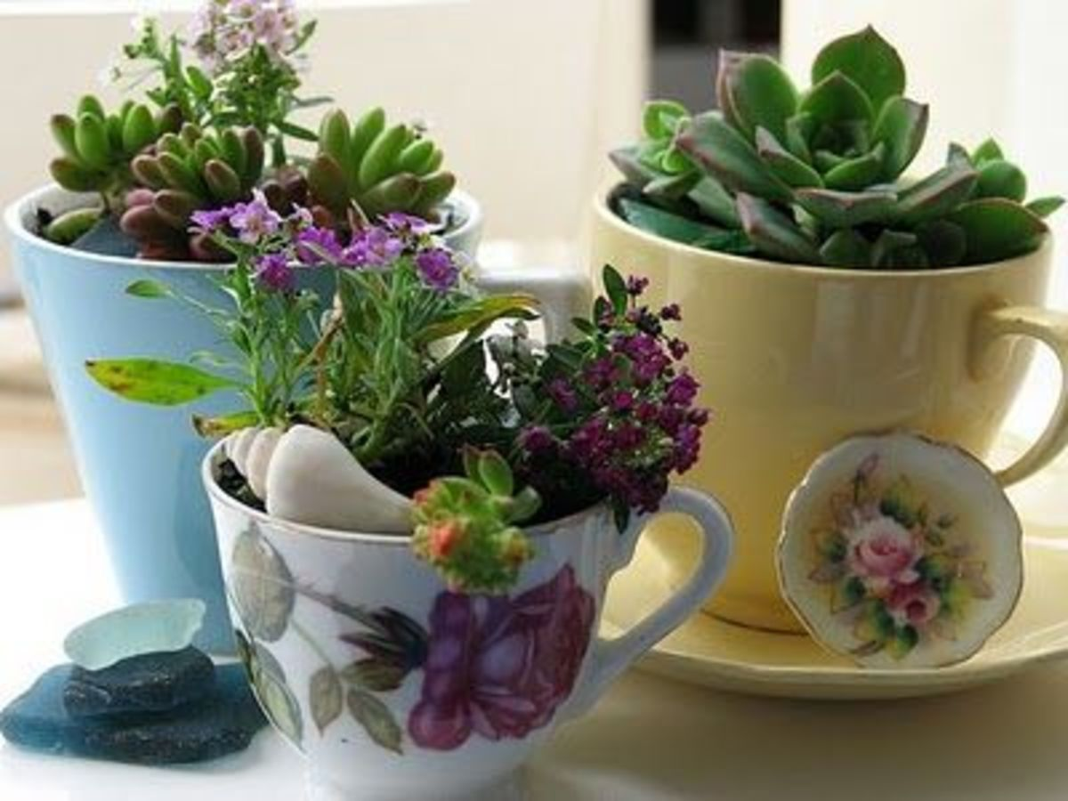 Teacups Are A Great Way To Make Succulents Look Fantastic Indoors Dont Forget