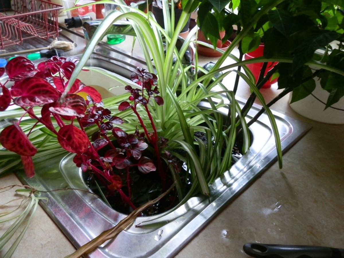 Place as many plants as you can in a basin of water. They love a good soak.