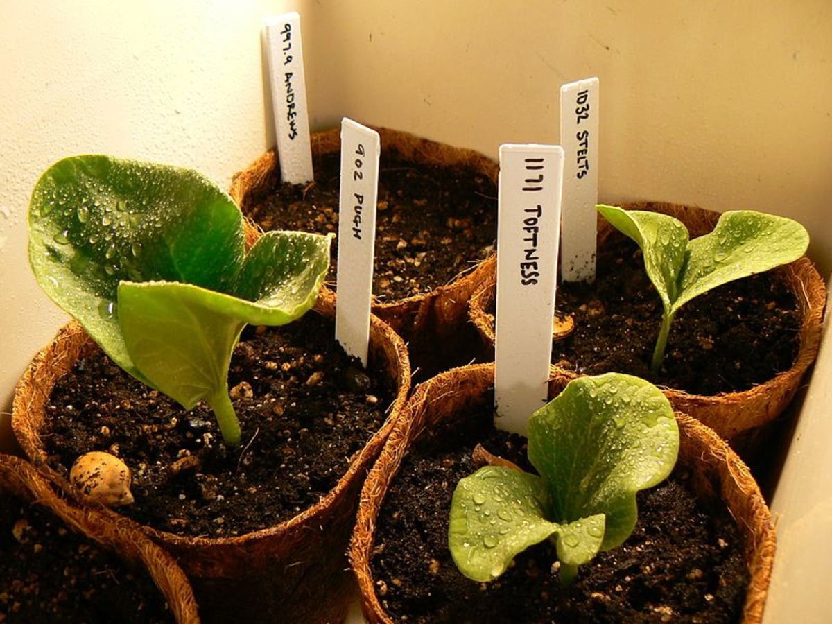 Pumpkin seedlings started indoors in peat pots.  They have not yet developed their true leaves.
