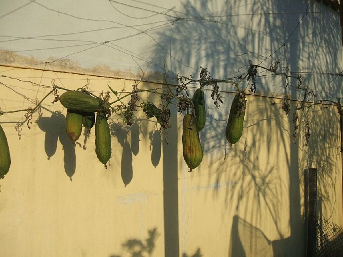 Luffa fruit drying on the vines.