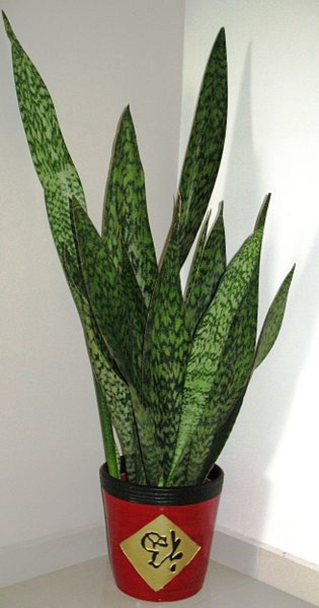 The Snake Plant - Incredibly Easy to Grow