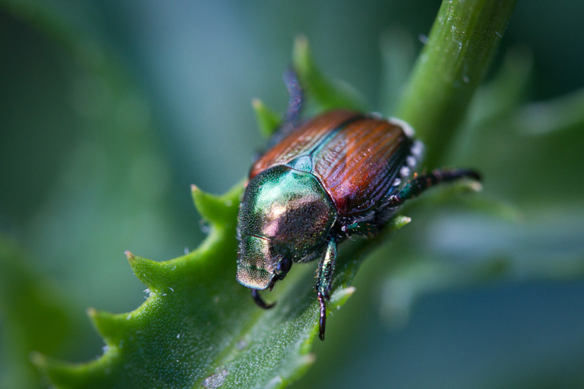 The adult form of the Japanese beetle resting on a likely food source.