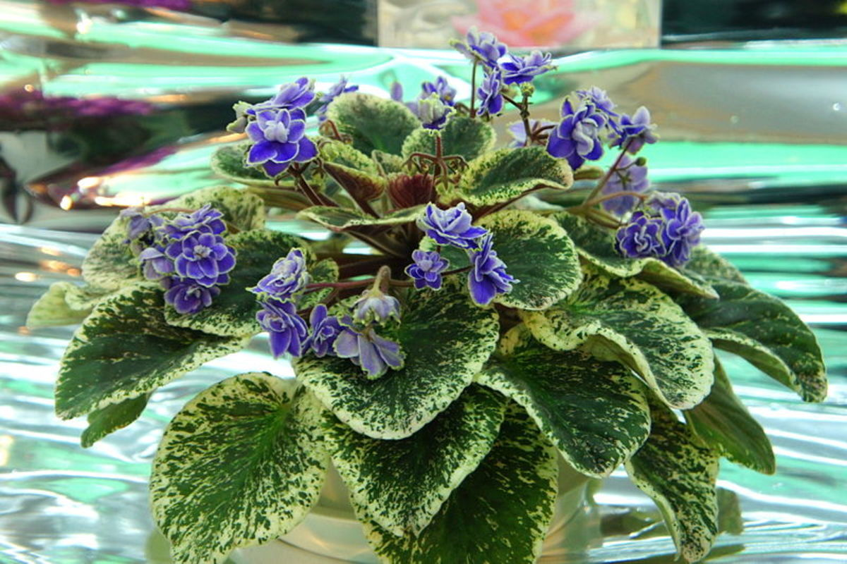 African violet with double picotee flowers and variegated leaves.