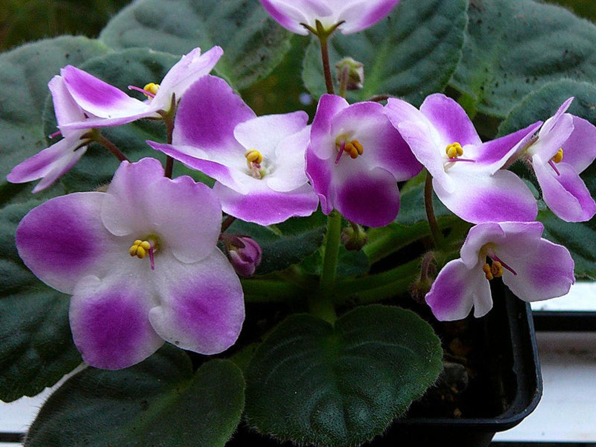 Bicolor African Violet flowers