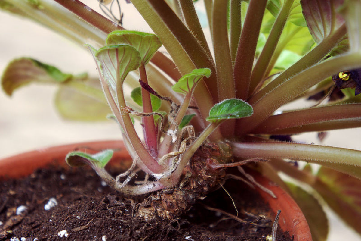 You can also grow new plants by dividing the crown of your existing plant.  Note that both the old crown and the new one have roots allowing you to separate them.