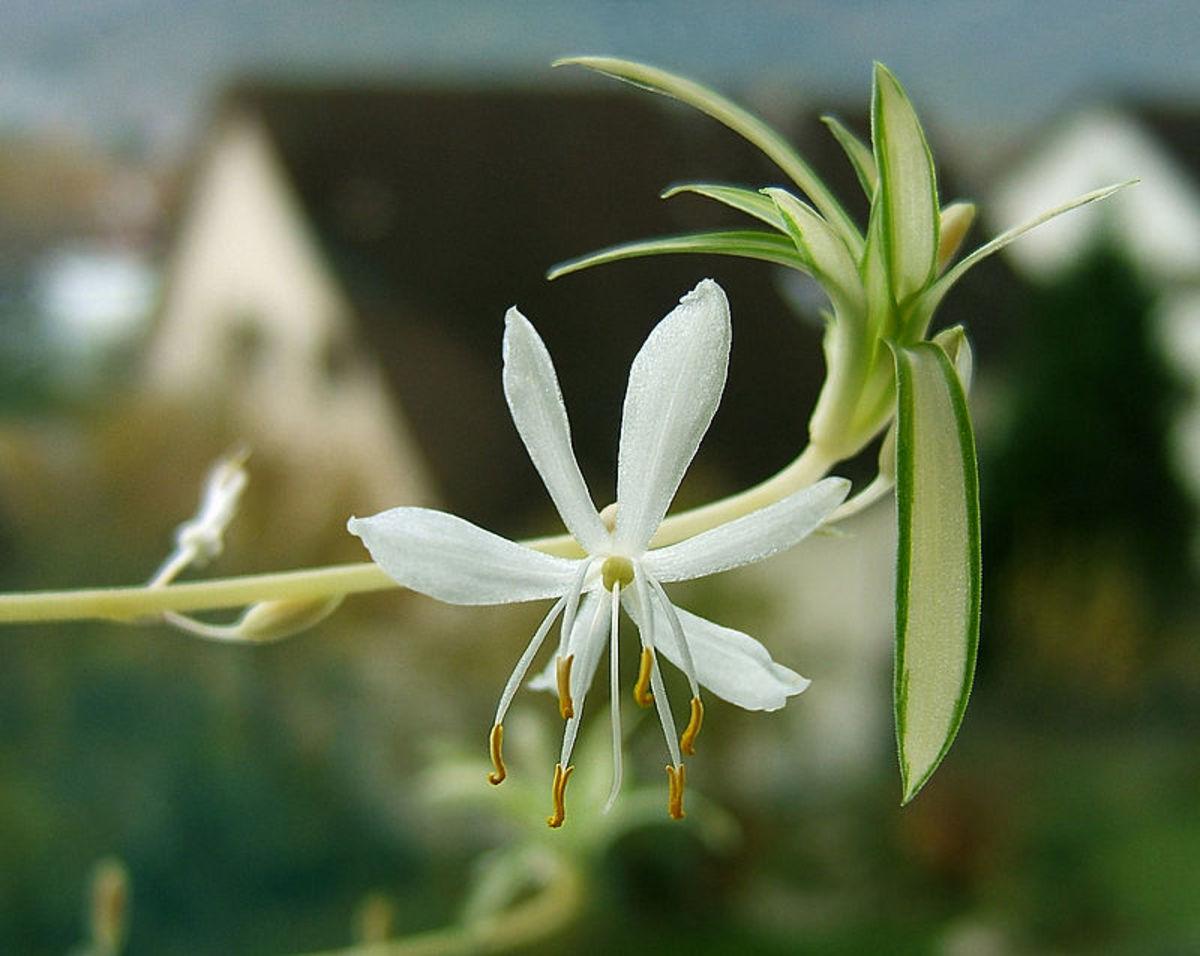 Flowering spider plant