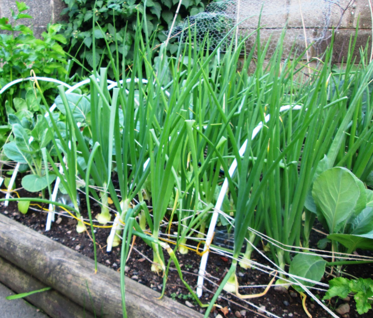 How to Plant and Grow Onions in the Garden