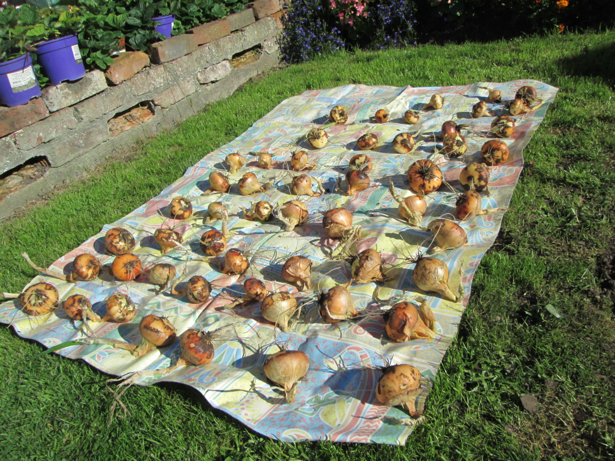 Drying Out Onions