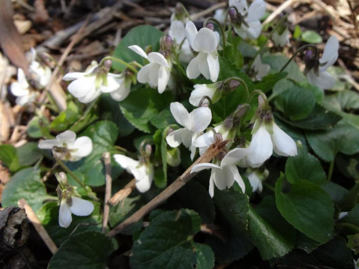 Wild White Violets
