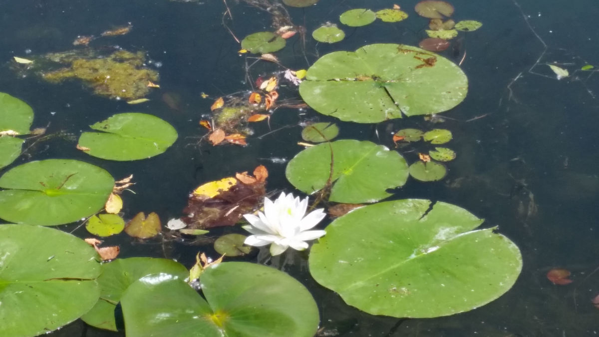 Lotus lily.