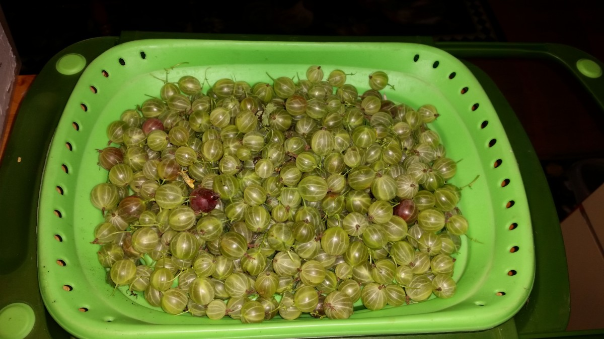 Gooseberry harvest.