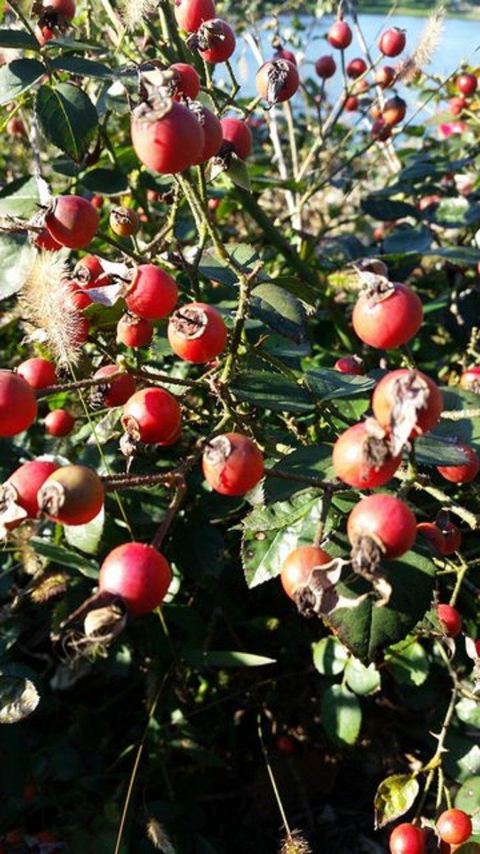 Edible Wild Plants in Zone 5