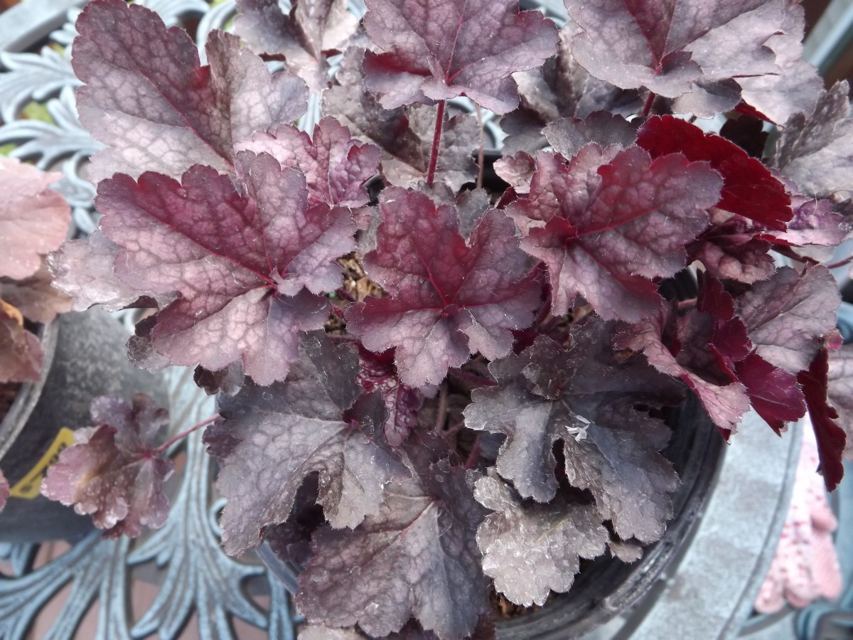 Blackberry Crisp Heuchera