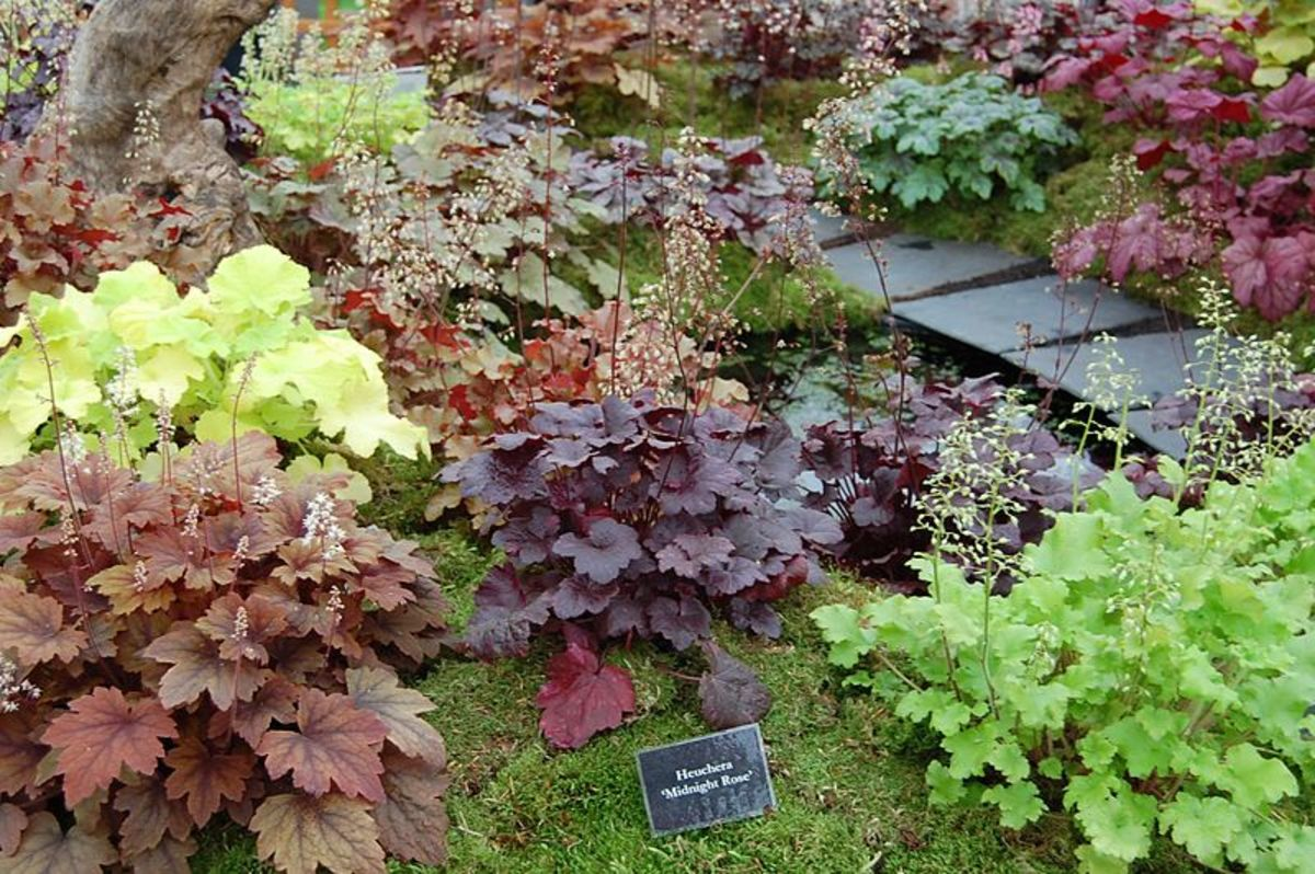 Heuchera Cultivars at BBC Gardeners' World