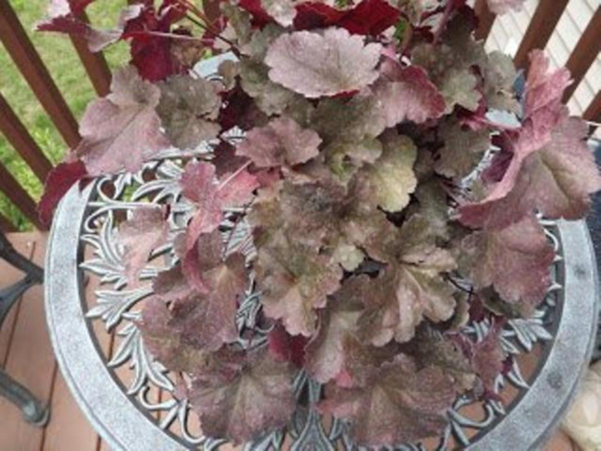 Raspberry Chiffon Coral Bells