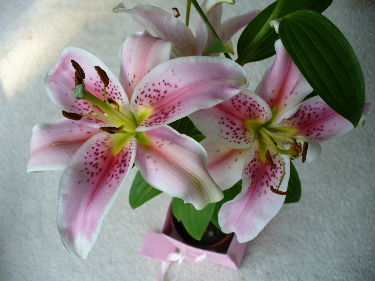 These lilies were given to me as a gift, and I was so happy to receive them.