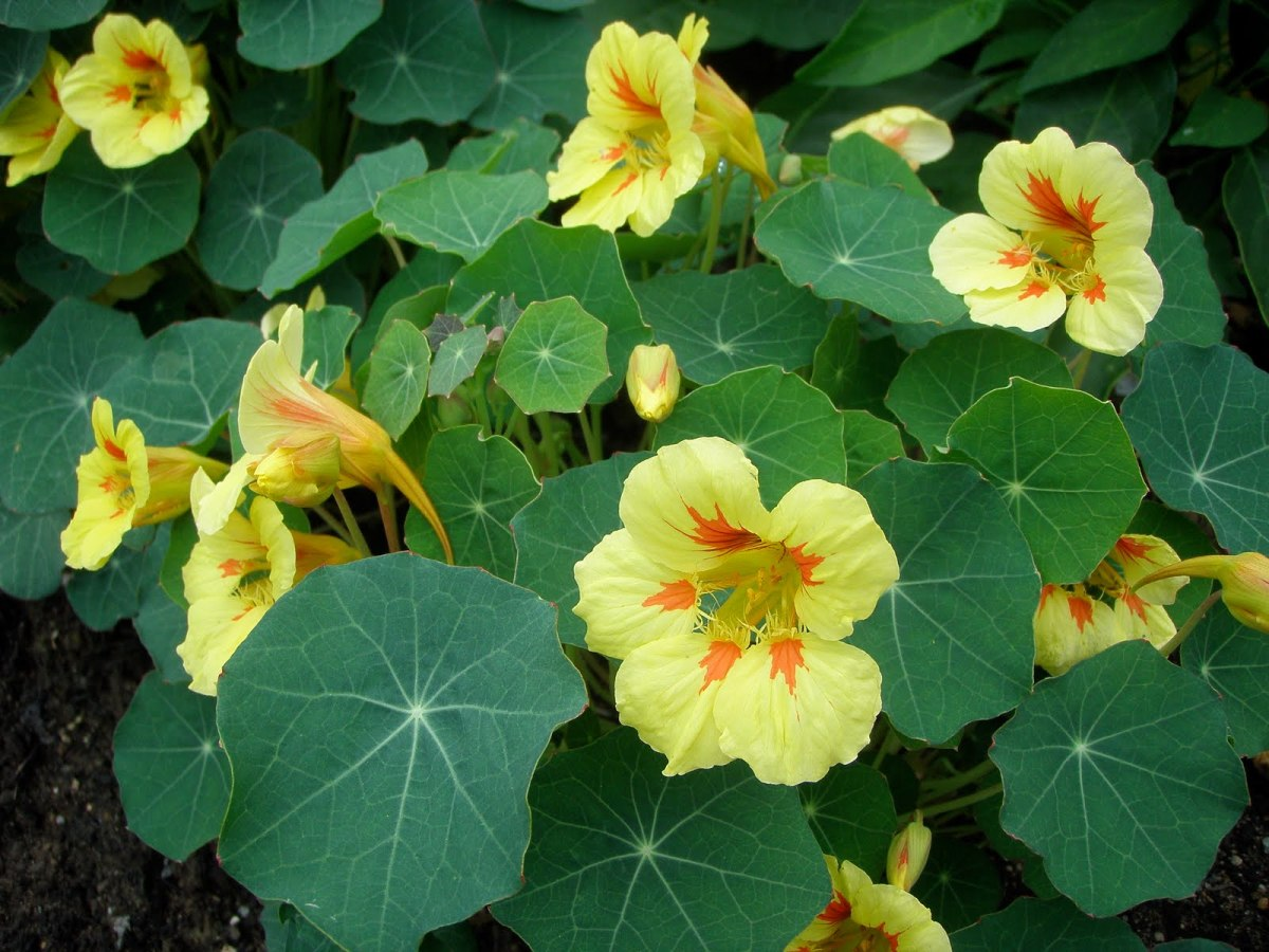Yellow flowering nasturtiums