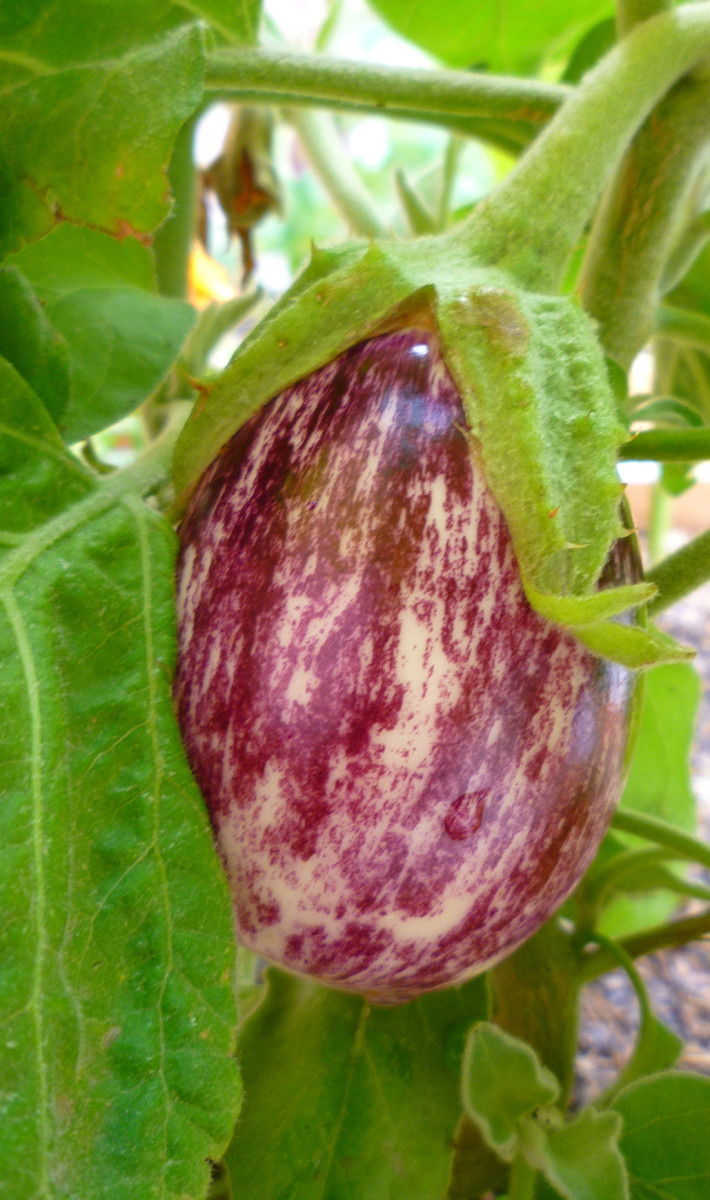 Eggplant fruits can be harvested at any time. As long as they have a nice sheen, they're ripe for the picking! Much like zucchini, eggplants are most tender when picked early and small rather than late and large.
