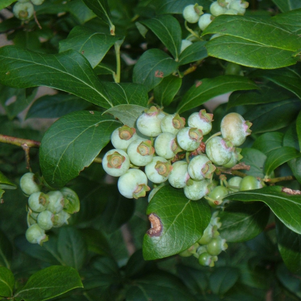 How to Grow Blueberry Bushes