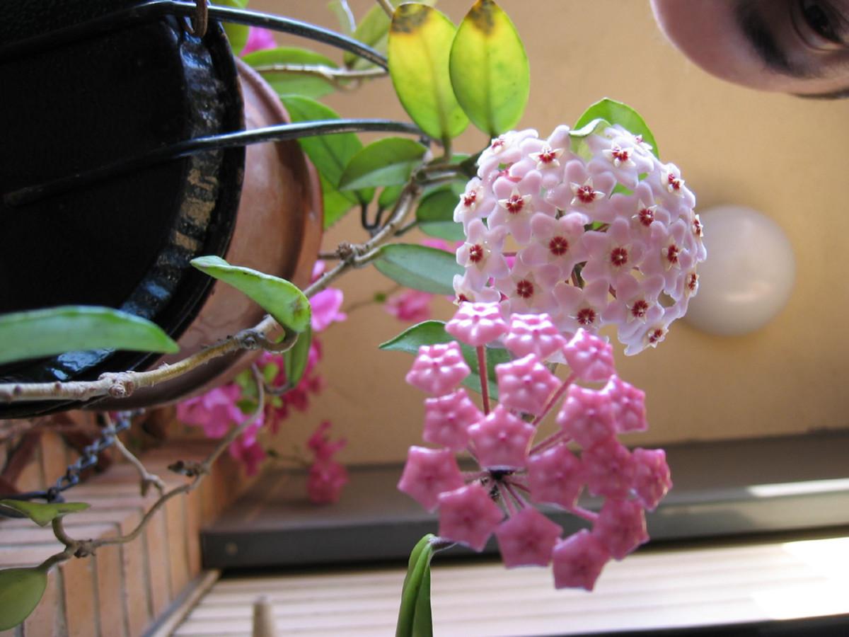 Hoya Bella Bloom