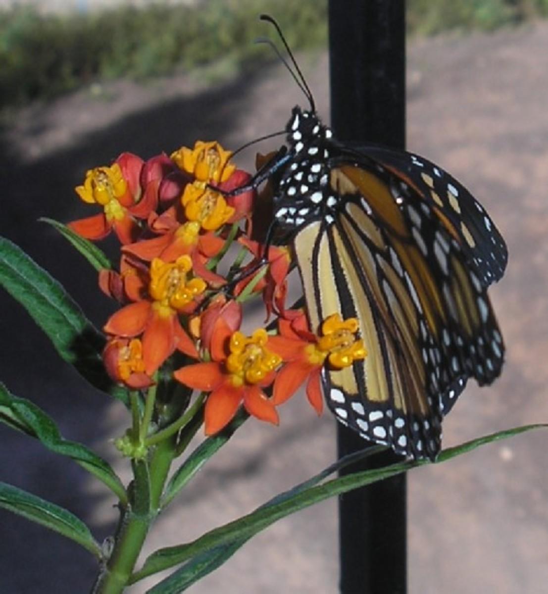 Monarch feeding on a milkweed flower.