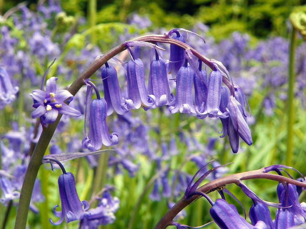 English bluebells - The flowers grow from only one side of the stem causing it to curve.