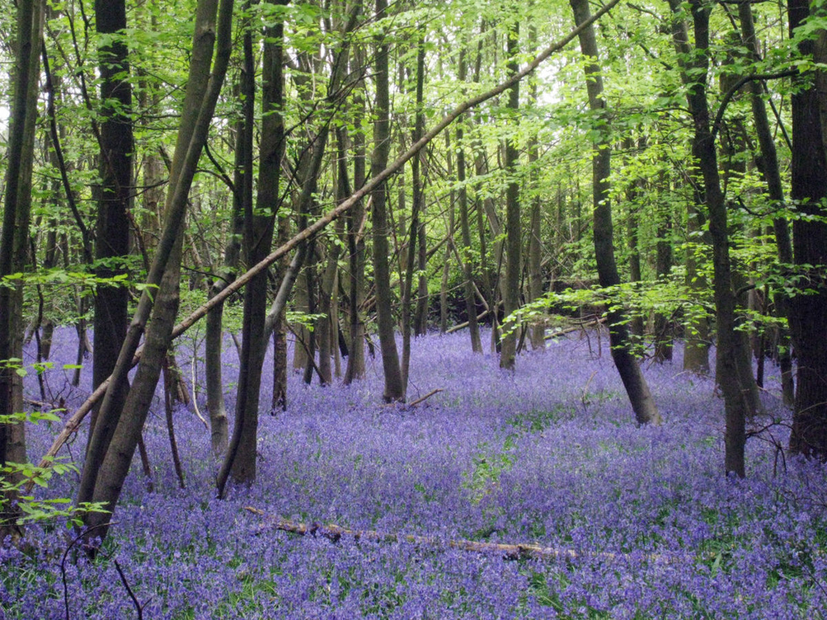 A bluebell wood in the spring