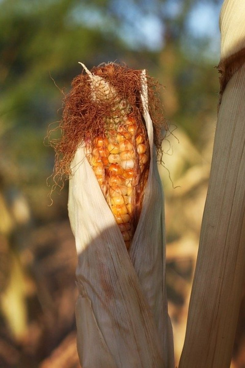 Indian corn is harvested when the husks turn brown