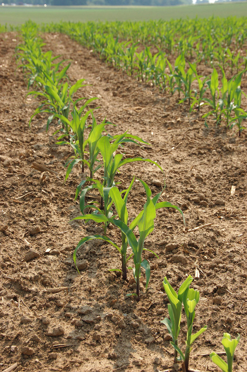 Keep your corn well-weeded so that it doesn't have to compete for water and nutrients.