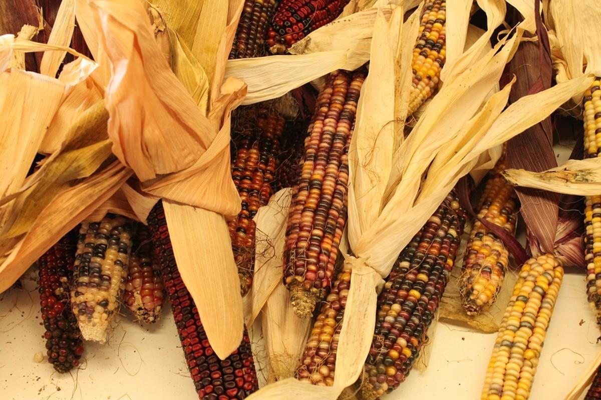 Indian corn, the original corn bred from teosinte