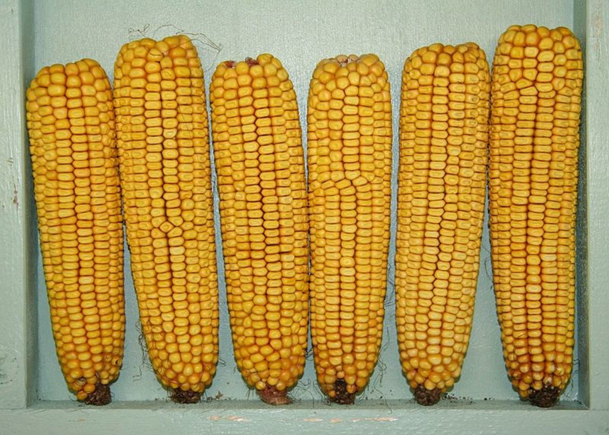 Yellow Dent Corn