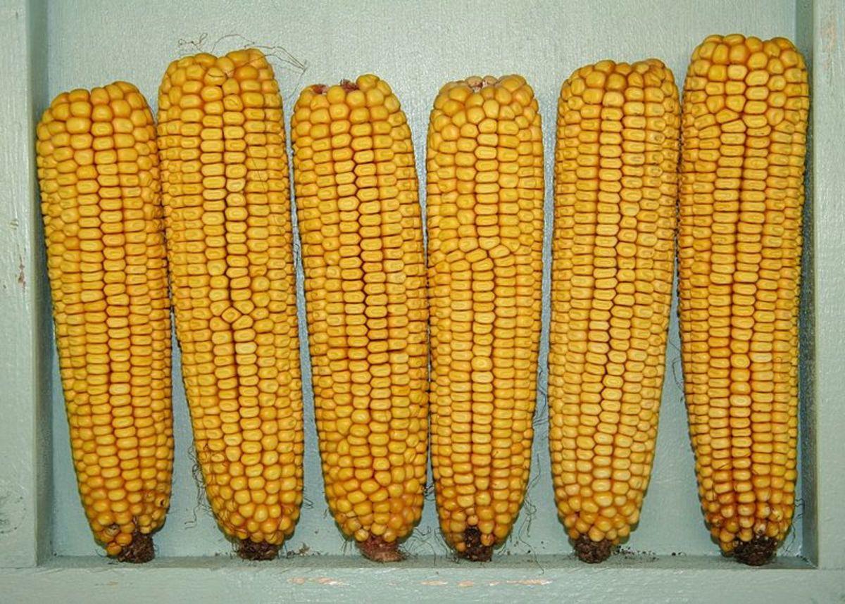 Yellow Dent Corn