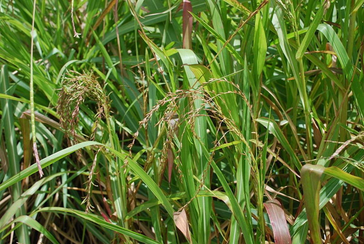 Wild teosinte, the ancestor of modern corn