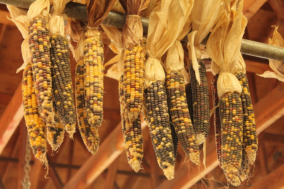 Indian corn hung to dry