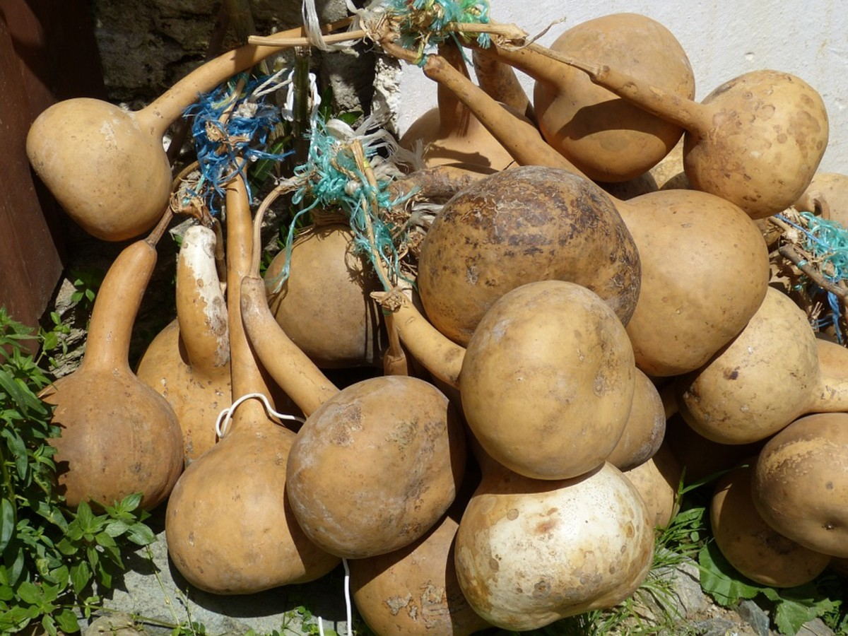 Large hard skin gourds lose thieir colors when dried.  When fully dry, they are a dull tan color.