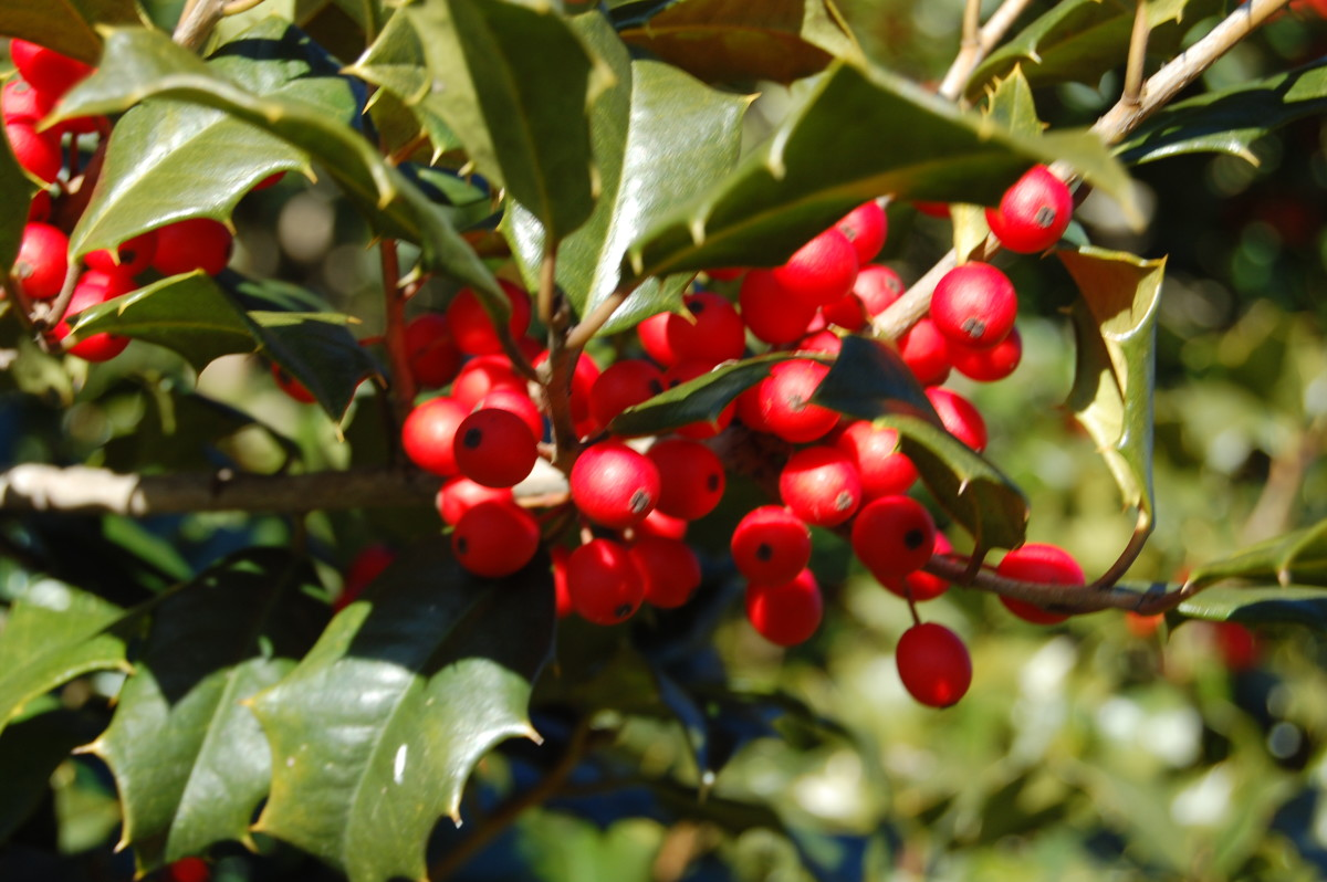Using Holly in Your Landscape