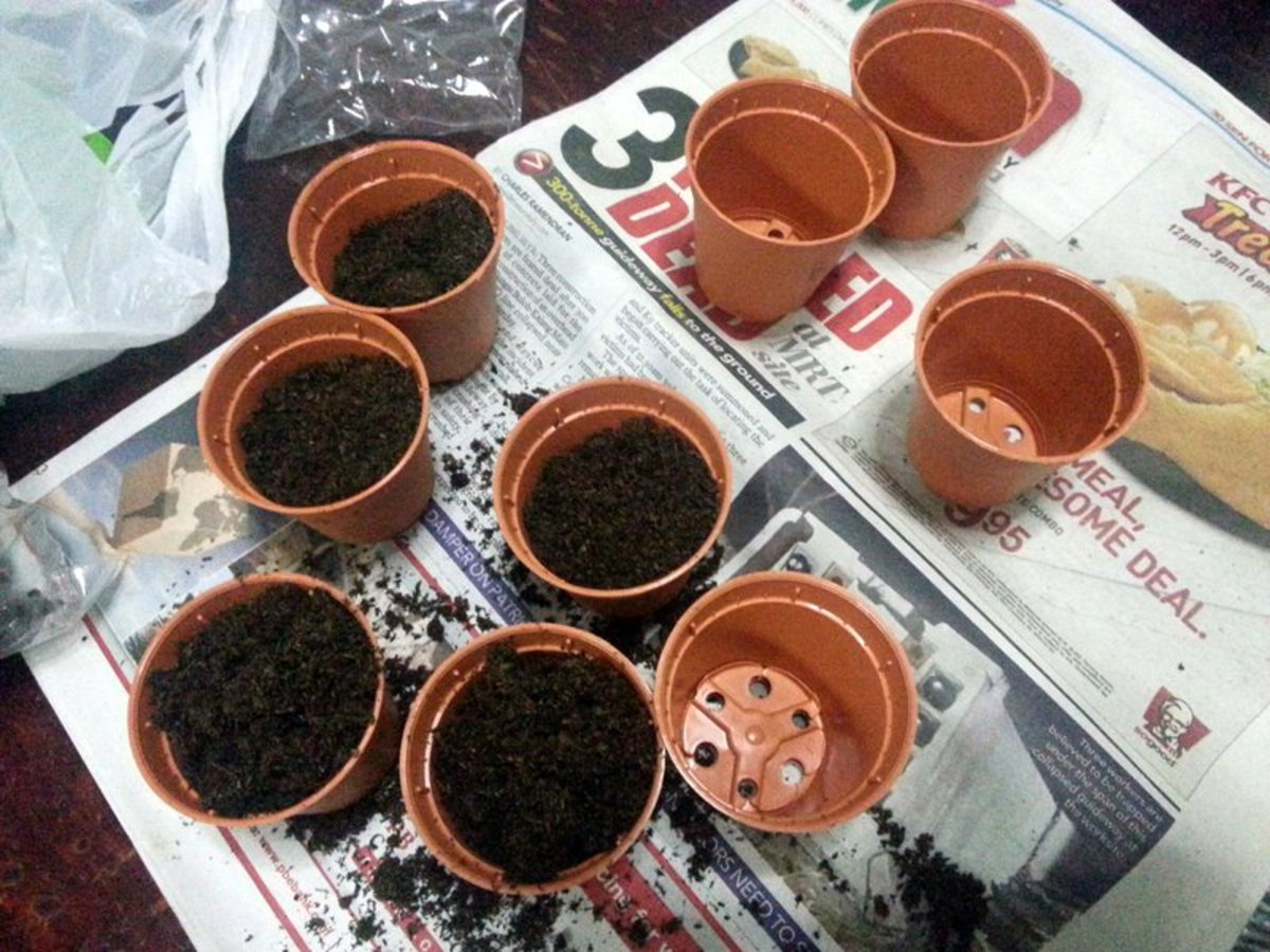 These are the pots and potting mix that I used to sow plumeria seeds.