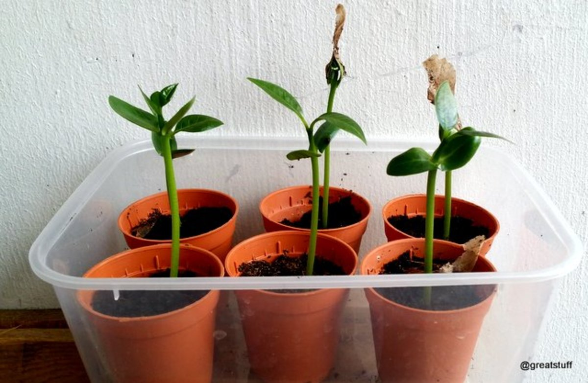 These young Plumeria Seedlings are now ready for repotting to bigger pots (usually after it had develop at least two true leaves)
