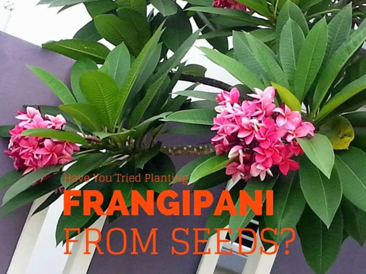 One of the advantages of growing frangipani from seeds: You can get new varieties.