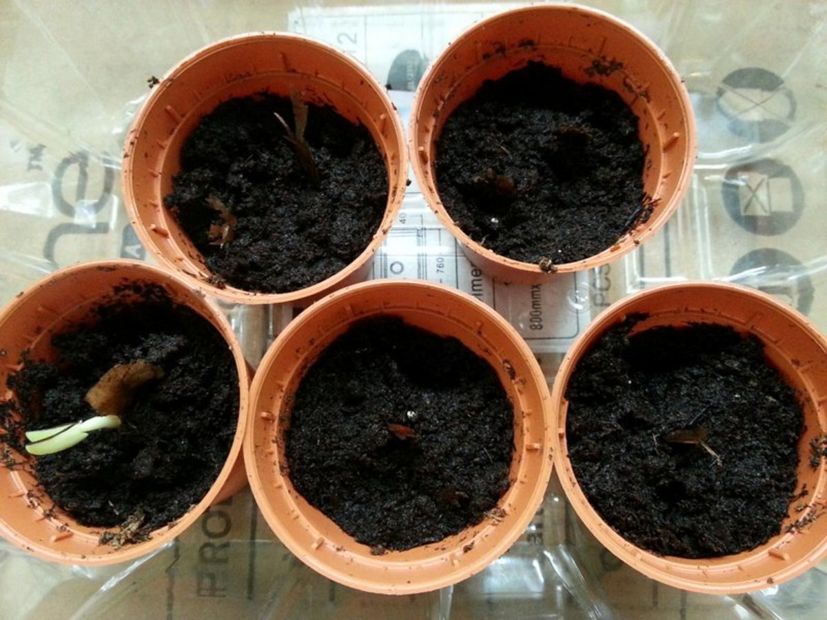 Frangipani seeds will germinate from seven days to over a month. This particular pot had the seed leaves emerging after seven days.