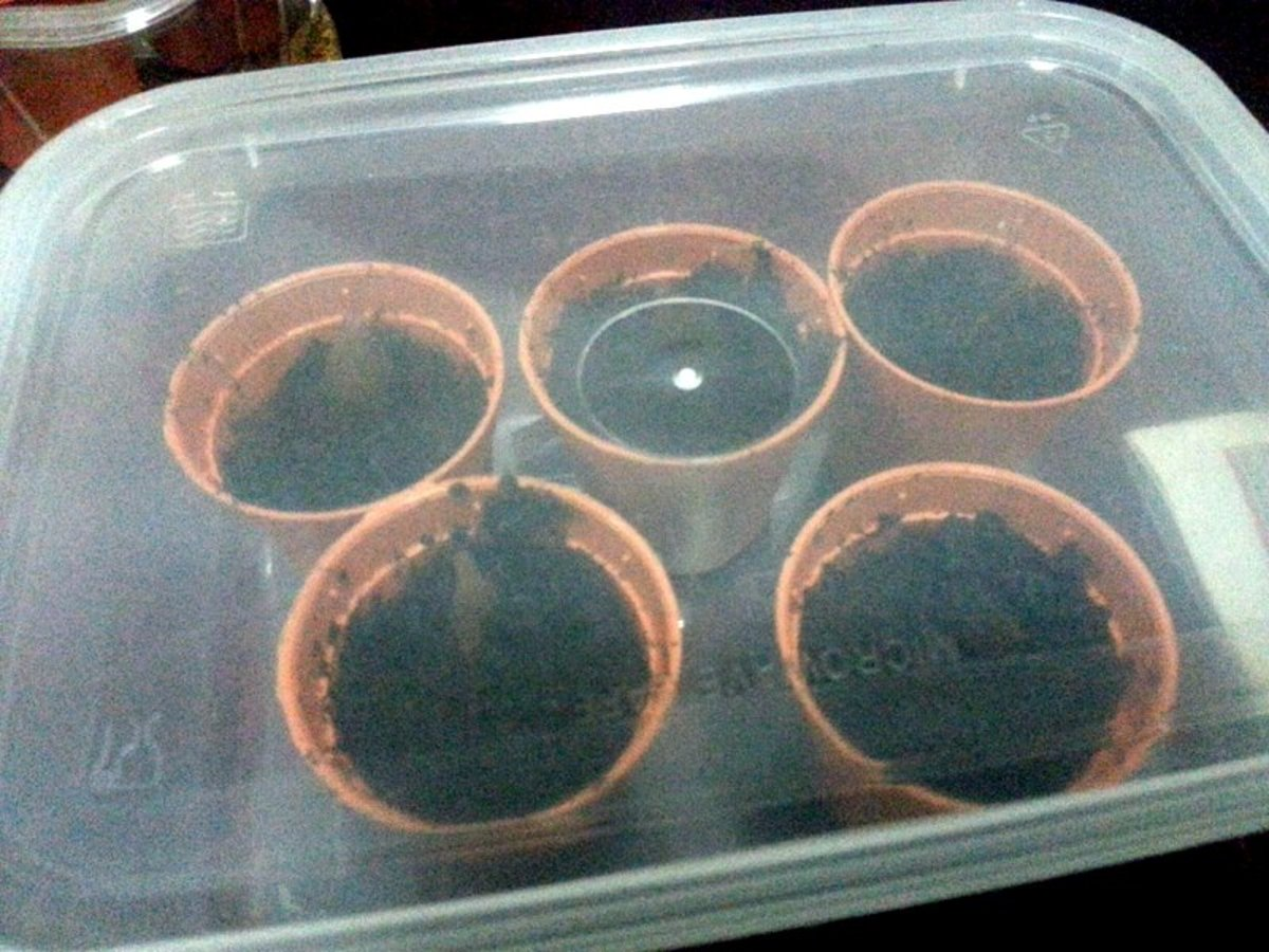 Place the pots in a plastic container. Then, cover the top to create a mini greenhouse effects for these plumeria seeds to germinate
