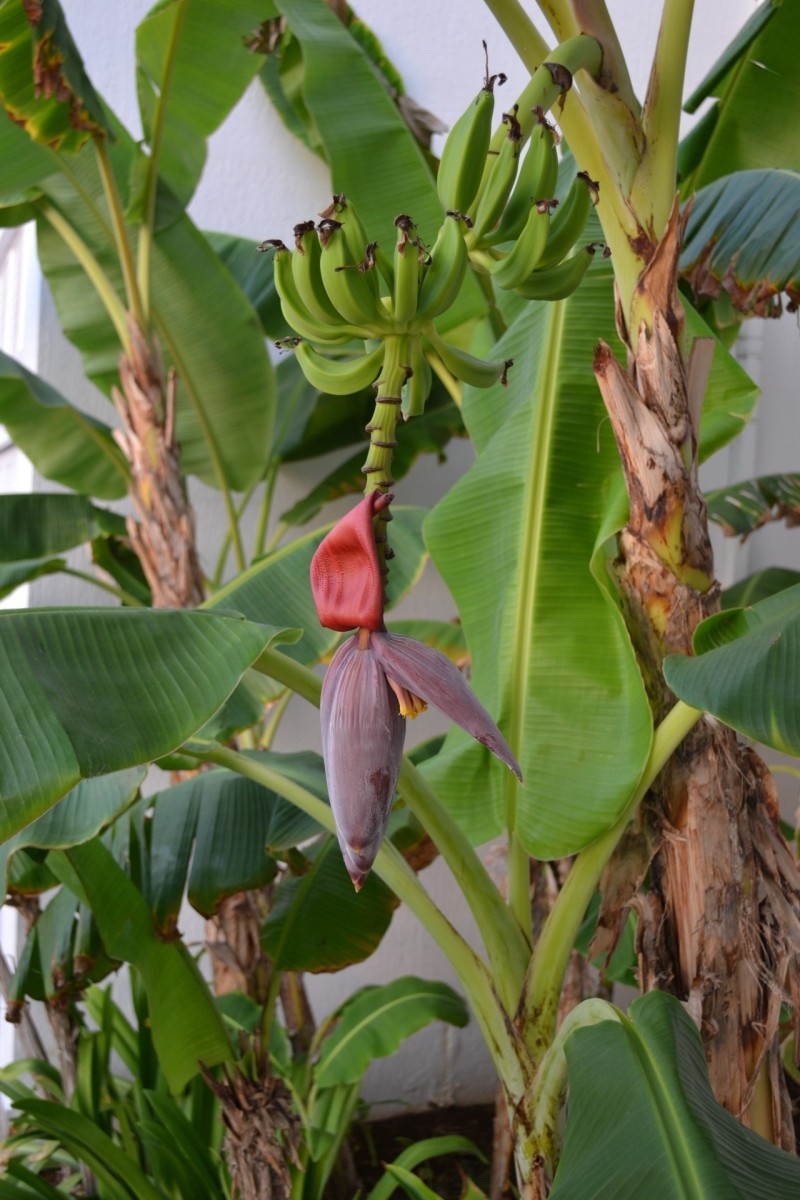 10 Uses Of Banana Trees