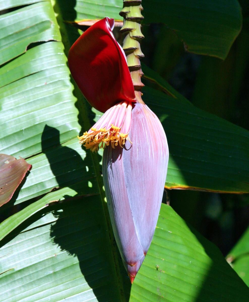 Banana Flowers