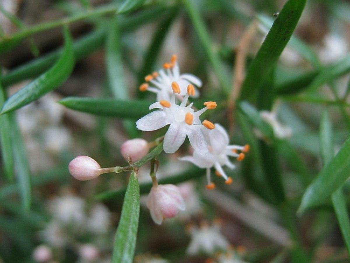 Asparagus ferns produce flowers.  True ferns do not flower.