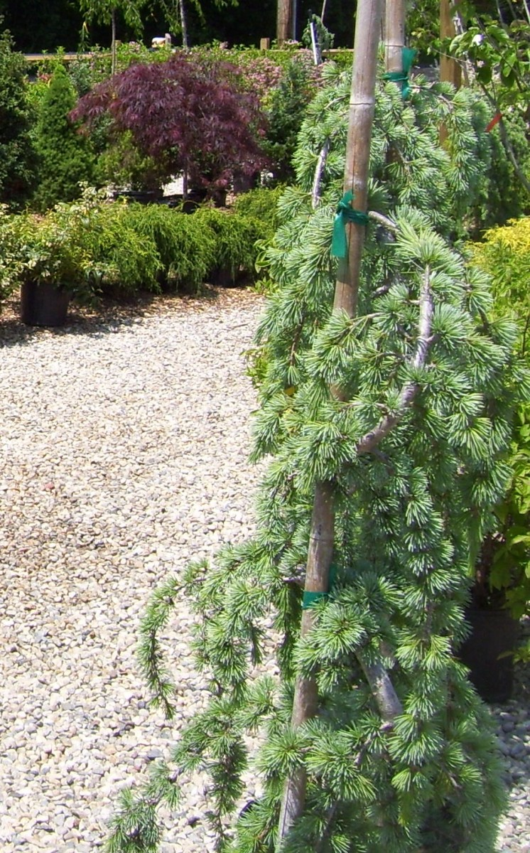 growth-habit-of-weeping-blue-atlas-cedar-what-to-prepare-for-when-planting