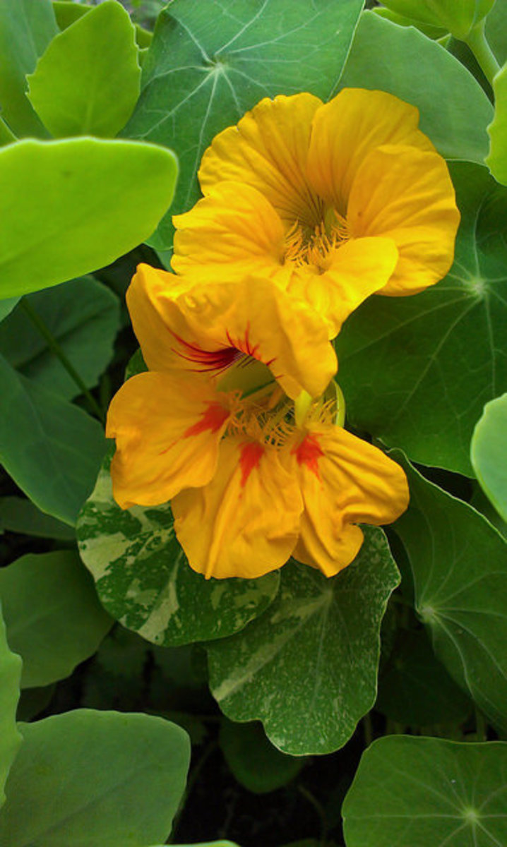 Nasturtiums inter-planted in a border near a walkway