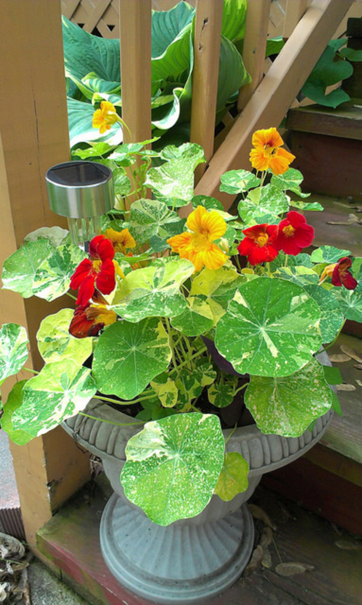 Nasturtiums in a porch planter