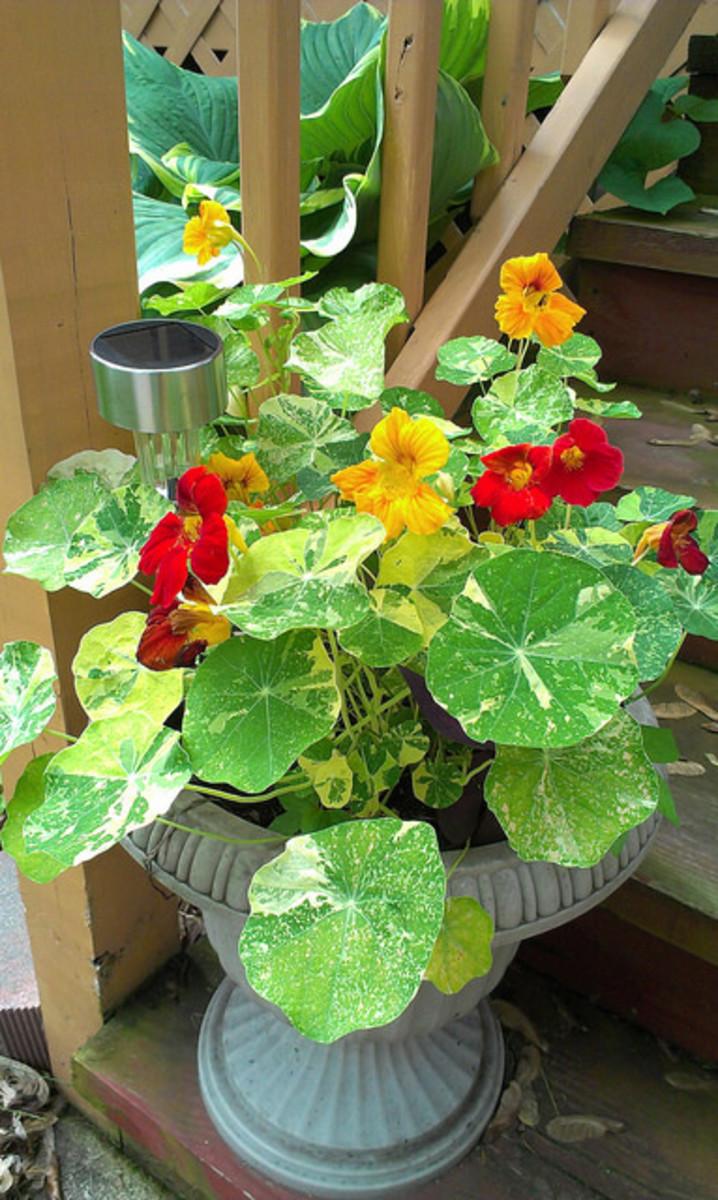 Nasturtiums in a porch planter